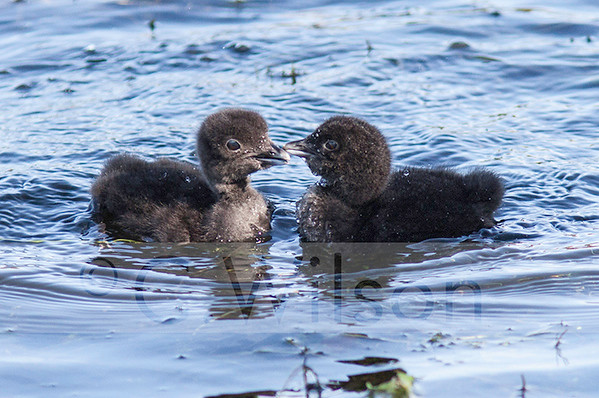 Loon chicks