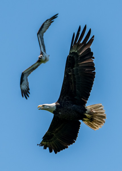 Bald Eagle Getting Chased By Osprey 6/9/17