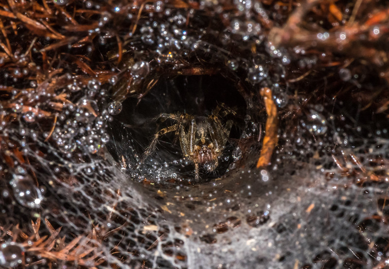 Tunnel-Web Spider in Dew Covered Web 10/1/16