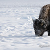 Bison Feeding in Snow