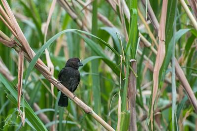 Weaver, Thick-billed (spp. montana)