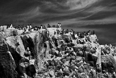 Seabirds nesting on the Farne Islands
