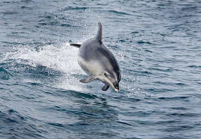 Dolphin, Bay of Islands, North Island, New Zealand.  A brief chance on a boat trip that was declared 'null and void' due to the small number of dolphins that day.  Fortunately I managed to grab the only fully airborne opportunity of the trip.