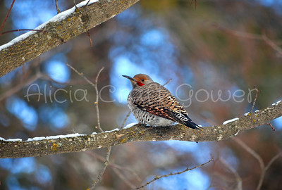 Montana Woodpecker