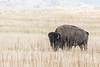 Bison, Antelope Island, Utah