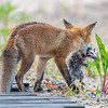 Red Fox Kit With Meal 5/31/21