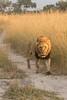 Strolling lion