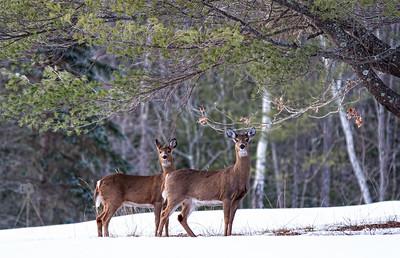 Deer Standing Tall
