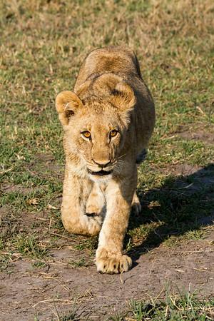 Strolling cub