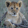 Lion Cub, Tanzania, East Africa