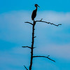 Great Blue Heron Atop Tree 6/17/16