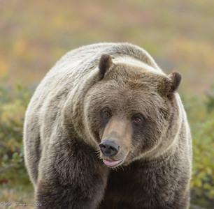 Grizzly, Denali
