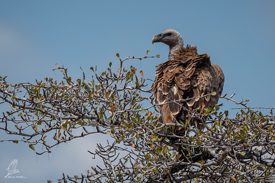 Vulture, Rüppell's (spp. rueppelli)