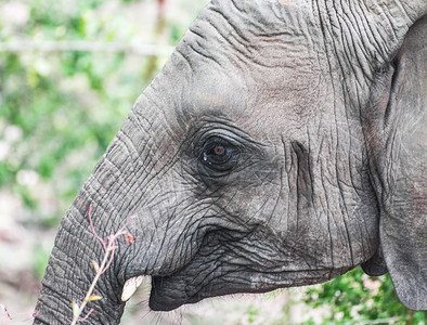 Elephant profile, Kruger National Park, South Africa