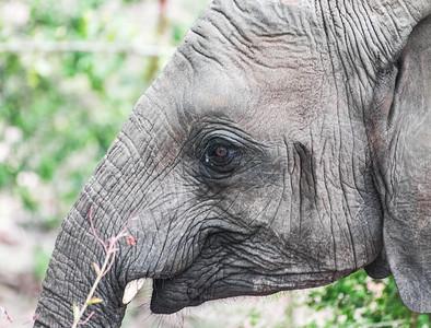 Elephant profile, Kruger National Park, South Africa