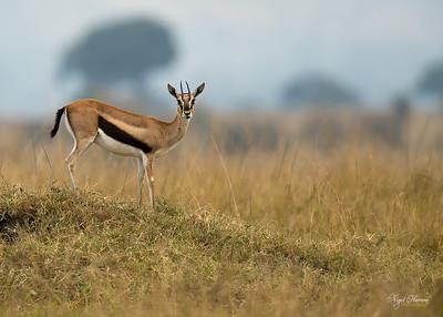 Thomson's Gazelle: female