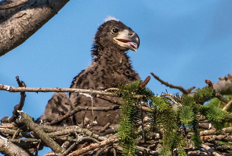 Bald Eaglet in Nest 6/12/17