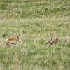 Antelope Family, Ennis, MT