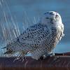 A Snowy Owl Perched On A Guard Rail 12/8/20