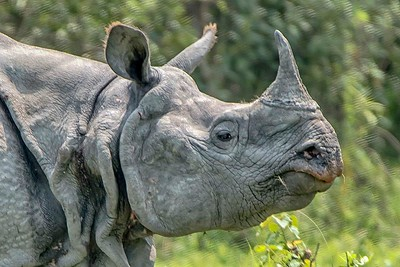 Portrait of a Rhino