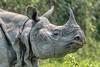 Portrait of a Rhino