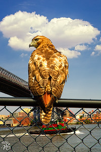 Redtail in the City