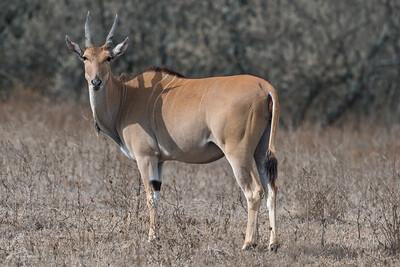 Taurotragus oryx