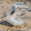 Least Tern Chick Exercising Wings 6/27/16