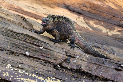 Marine Iguana strutting his way along a rock