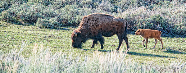 "May 12 - Keeping Up With Mom<br /> <br /> Thanks for your comments on my letter ""Q"" I posted yesterday for the alphabet challenge.  This image is for wishing all mothers a wonderful belated Mother's Day.  This image was taken in  Yellowstone a week and a half ago.  The number of buffalo calves increased each day."