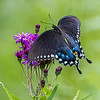 Spicebush Swallowtail Butterfly 8/16/16