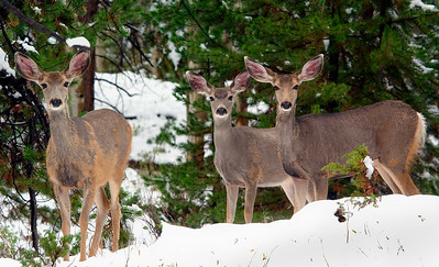 Three Muledeer in an early Colorado Snow