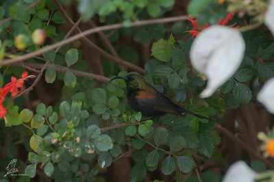 Sunbird, Bronze (spp. kilimensis)