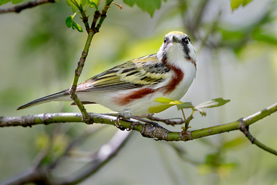 373- Chestnut-sided Warbler