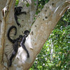 Yucatan Spider Monkeys