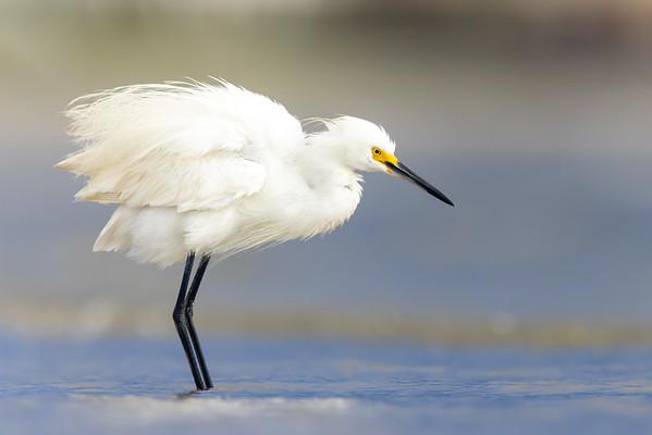 Snowy Egret — Harbor Island, SC
