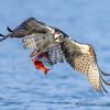 Young Osprey Captures Kokanee