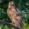 Red-Tailed Hawk 7/26/16