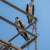 A Pair of Ospreys Perched on a Tower 6/7/16