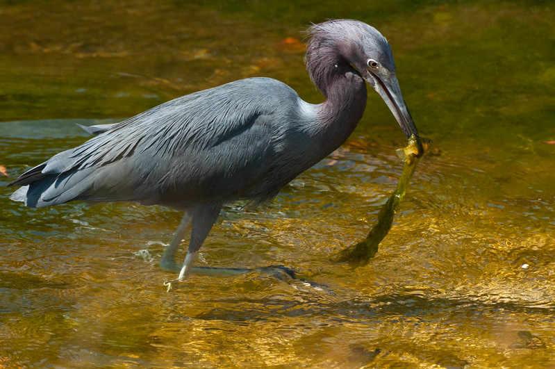 Little blue heron catch of the day