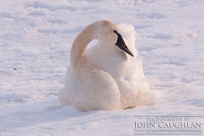 Swans2r