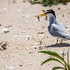 A Least Tern with Fish for Chicks 6/15/16