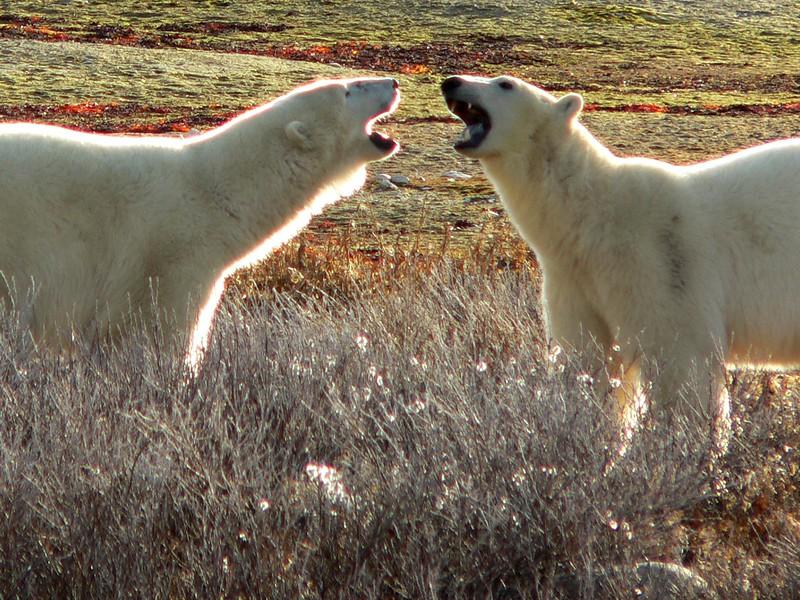 Polar Bear Brothers, Churchill, Manitoba
