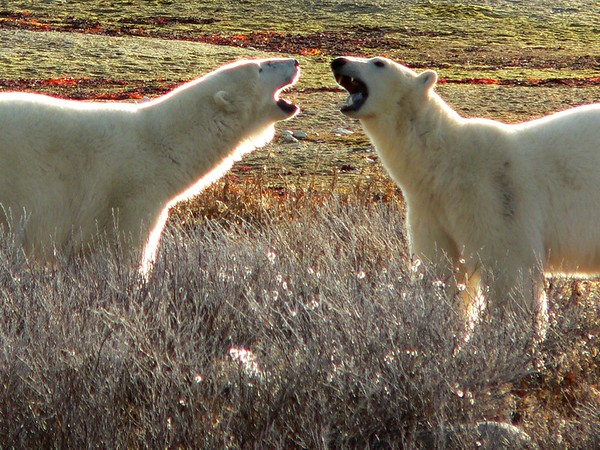 Polar Bear Brothers, Churchill, Manitoba