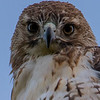Red-Tailed Hawk 6/19/16