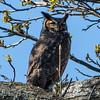 Great Horned Owl 4/15/16