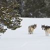 Gray Timber Wolves | Grand Teton National Park | Wyoming