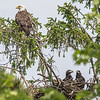 Bald Eagle Perched with Juvenile Eagle Pair in Nest