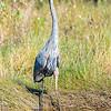Great Blue Heron at Assateague Island 10/15/16