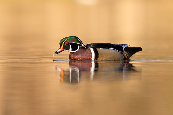 Wood Duck and water droplets